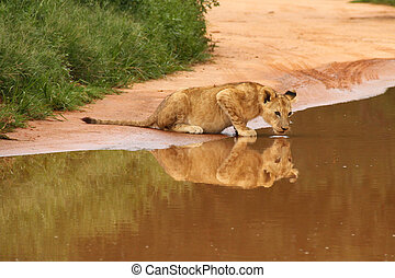 Baby lion drinking at water hole, South Africa