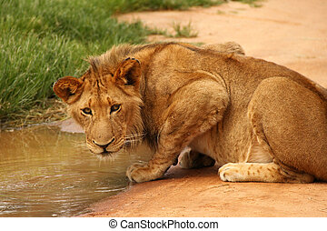 Lion drinking at water hole, South Africa