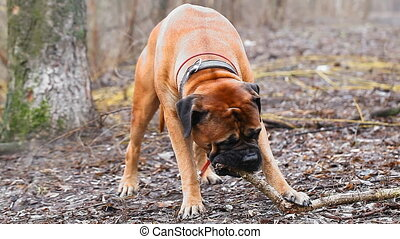 English Mastiff dog breed in the park