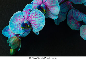 Bunch of violet orchids - Stem with blue orchids on black...