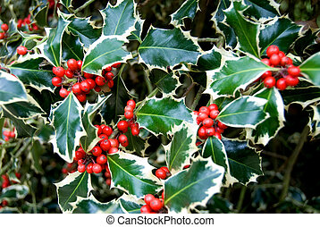 Variegated Holly - The leaves and berries of a variegated...