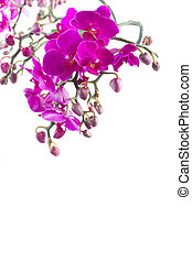 Bunch of violet orchids - Stems with violet fresh orchid...