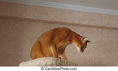 Abyssinian cat playing with ball on the upholstered pedestal