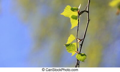 Birch branches with light green leaves