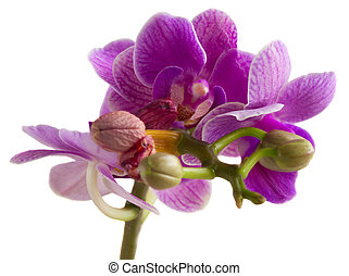 Two violet orchids - Mauve fresh orchids close up isolated...