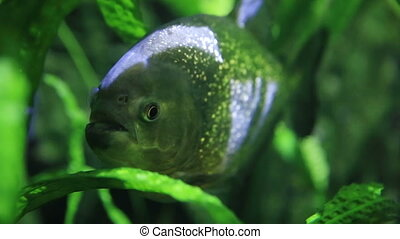 Piranha swimming in an aquarium.