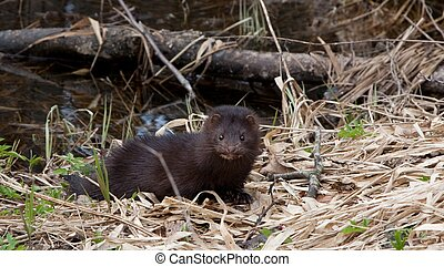 American Mink against water - Wild American Mink against...