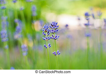 Beautiful Lavender flowers - Two Lavender flowers on blurred...