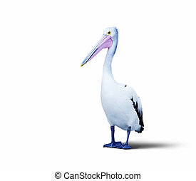 pelican - A photography of an isolated pelican bird