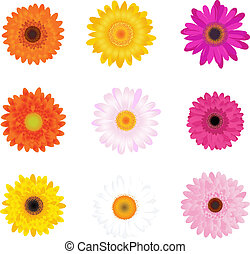 Colorful Daisies, Isolated On White