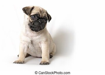 Adorable Pug Puppy - An adorable pug puppy sits and looks...