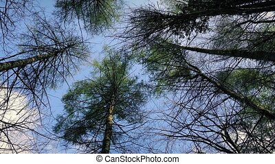 Moving Under Tall Trees In Woods - Tracking shot looking up...