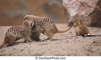 Family of meerkat playing outdoor