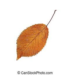 秋, さくらんぼ, 白, 葉, カラフルである