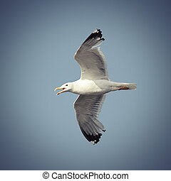 flying caspian gull - caspian gull in flight over the sky...