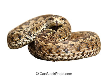 isolated snake ready to strike