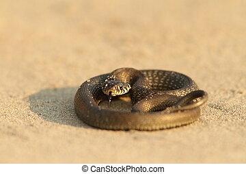 juvenile grass snake on sandy beach Natrix natrix