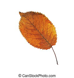 葉, さくらんぼ, 上に, 薄れていった, オレンジ, 白
