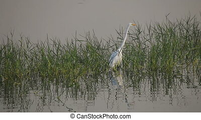 White Heron on a Man Sagar Lake - White heron flying in the...