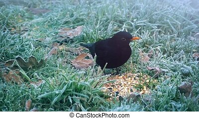 Black Bird Eats Seeds In Winter - Black bird pecking at...