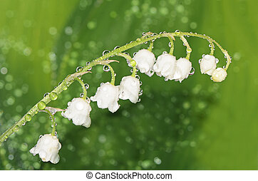 Lily of the Valley - Convallaria Majalis - The lily of the...