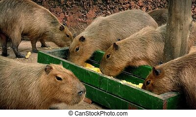 Capybara Group Eating From Tray - A few capybara eating...
