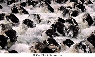 Countless Sheep Crammed Together - Many sheep pushed...