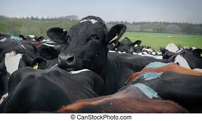 Cow Mounting In Closely Packed Herd - Cow tries to mount her...