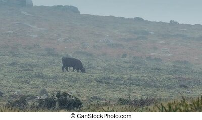 Cow Walks Through Barren Landscape - Cow walking and grazing...