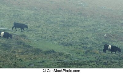 Cows Crossing Hillside In Rain - Herd of Belted Galloway...