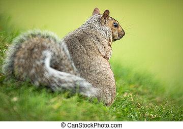 Eastern Grey Squirrel (Sciurus carolinensis)