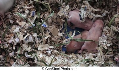 newly born bald mice - newly born mice in search of his...