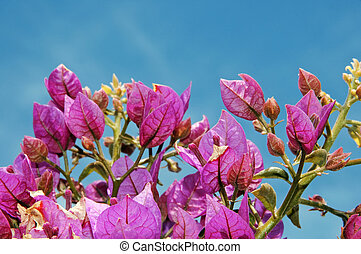 Bougainvillea - a branch of Bougainville with flowers