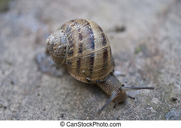 Snail on a Tuscan Garden, Italy - Snail moving on a Tuscan...