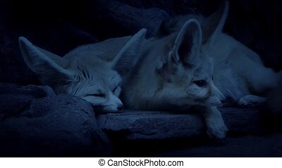 Desert Fox Couple Lying In Den - Male and female long-eared...