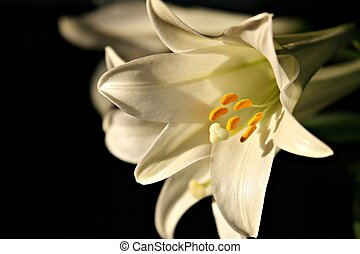 Easter Lily - A beautiful Easter Lily blooming.