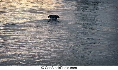 Dog Swims To Get Ball And Returns - Black dog swims out to...