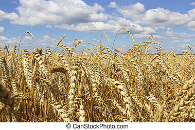 Landscape of wheat field - Wheat ears close-up on a...