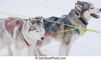 A pair of harnessed sled dogs ready to start for Sled Dog...