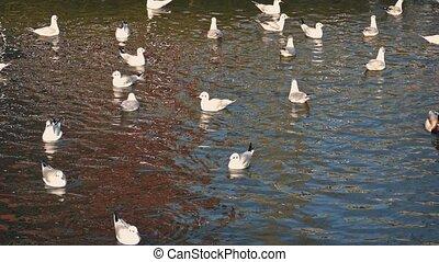 Ducks Startle Seagulls In Water - Ducks swim amongst...
