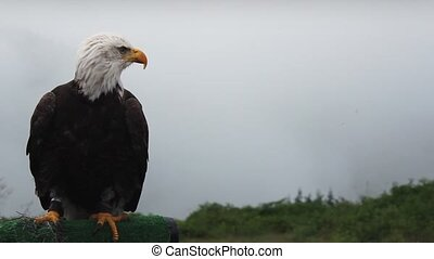 Eagle Looks Around And Grooms - Eagle on perch looking...