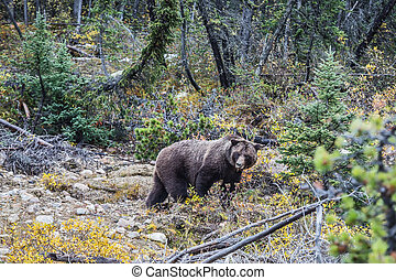 Big brown bear looking for acorns - Big brown bear looking...