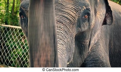 Elephant Chained Up In Zoo - Asian elephant with chain...