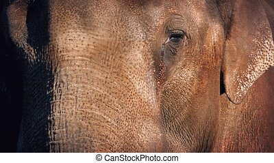 Elephant Face - Closeup of adult elephant face