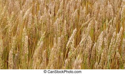 Golden Wheat Field 04