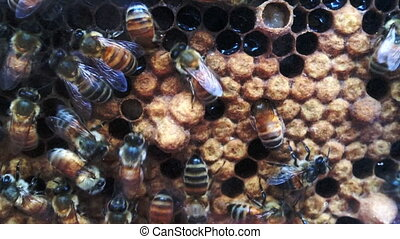 Honey bees in honeycomb with honey and pollen in cells
