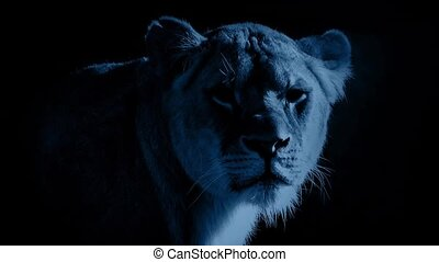 Female Lion In The Moonlight - Lioness looking around in...