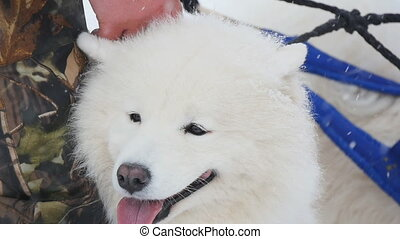 Samoyed in the winter