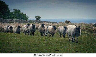 Flock Of Sheep Walking On The Moor - Lots of sheep crossing...