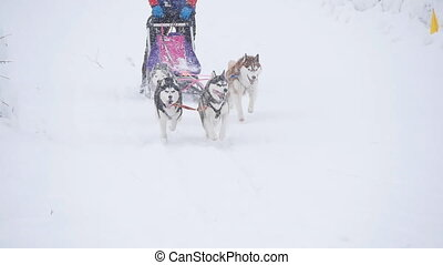 musher hiding behind sleigh at sled dog race in slow motion